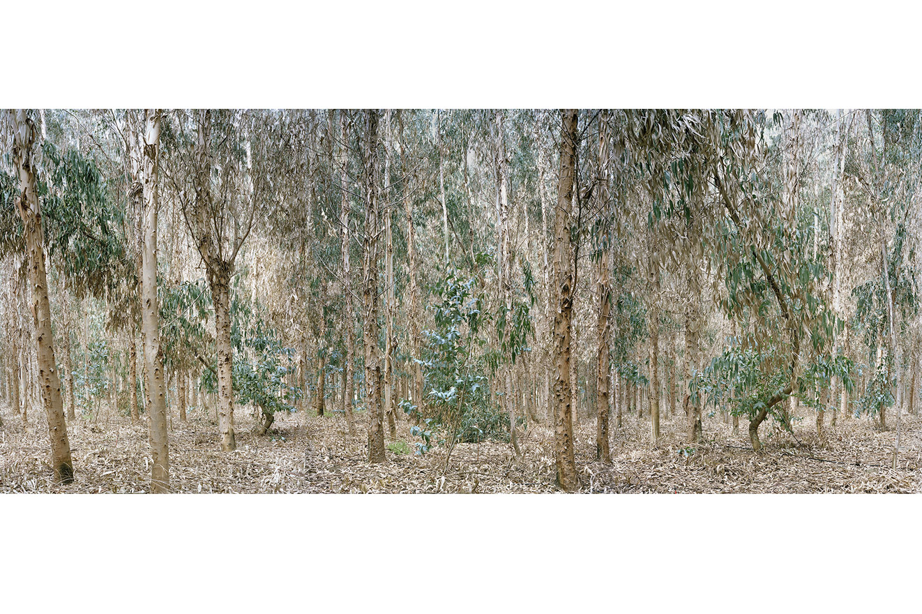 Forest of eucalyptus trees planted to absorb contaminated water from Los Pelambres mine. Los Vilos commune, Chile, 2012