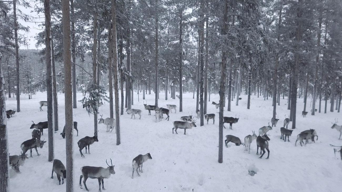 ID-DD-Drone-Forest-Reindeer-01