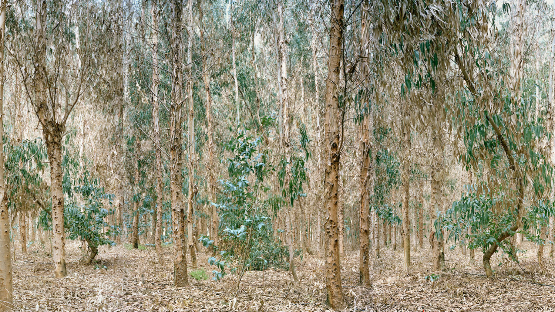 Eucalyptus trees contaminated by irrigation water residues from Los Pelambres copper mine, Los Vilos